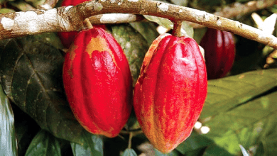 Photo of Ghana should worry about China's cocoa production